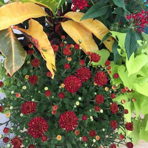 chrysanthemums and crotons