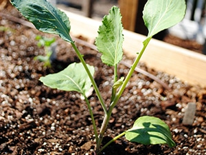 seedling and soil