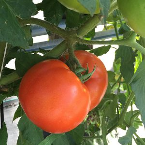 tomato growing at The Farm at Rockledge Gardens