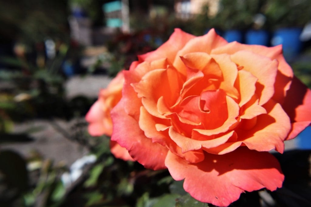 Growing Roses In Florida Rockledge Gardens