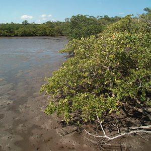 mangroves in Florida